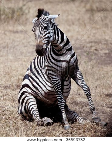 Struggling Zebra