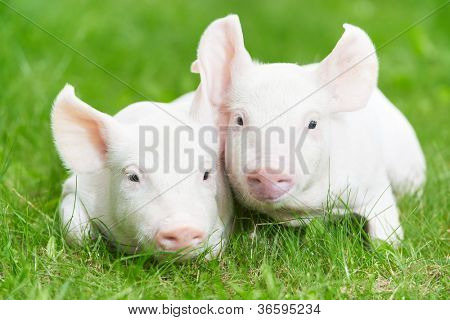Two young piglet on green grass at pig breeding farm