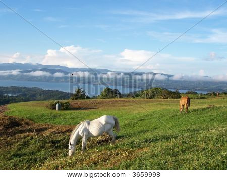 Wld Horses Grazing On Mountain Side In Costa Rica.