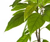 picture of avocado tree  - Border branch of avocado tree isolated on white background - JPG