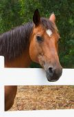 picture of brown horse  - horse portrait - JPG