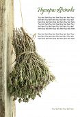 image of hyssop  - Dried hyssop hanging from a rope with copy space - JPG