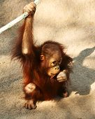 pic of funny animals  - A Baby Bornean Orangutan Pongo pygmaeus pygmaeus Chewing on a Stick - JPG