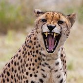pic of cheetah  - Very closeup of cheetah - JPG