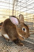 image of rabbit hutch  - A brown rabbit is caged and on display during the county fair - JPG