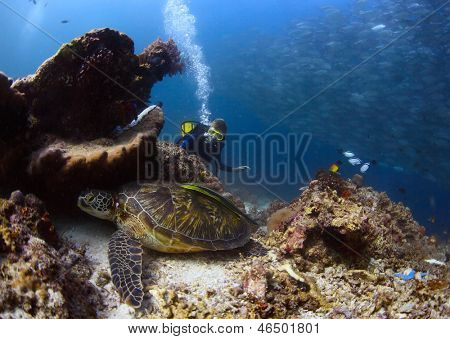 Scuba diver watching a sea turtle having rest among corals of tropical reef