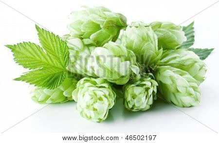 Inflorescence of hops on a white background.