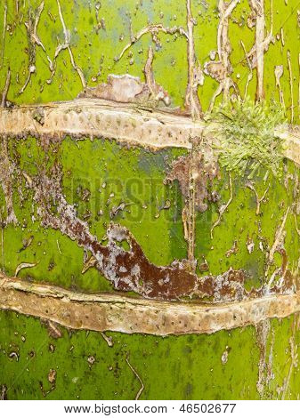 Nikau Palm Rhopalostylis Sapida Tree Trunk Closeup