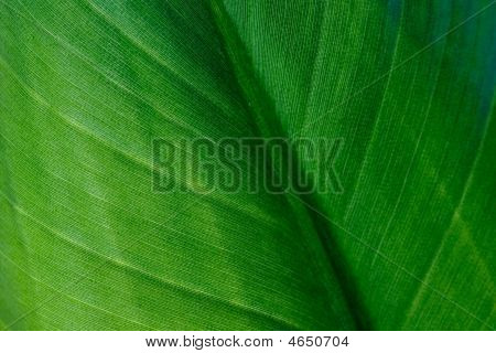 Macro Of  Green Banana Leaf