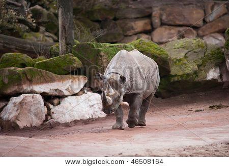 Black Rhinoceros: Animal Life In Africa