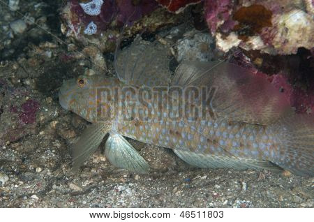 Filamented Goby In Lembeh Straits