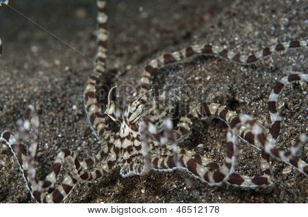 Mimic Octopus Raising Tentacles In Lembeh Straits