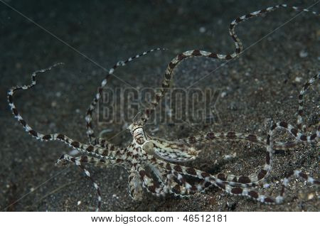 Mimic Octopus With Raised Tentacles In Lembeh Straits