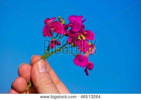 Red Field Flowers (astragalus) Against Blue Sky