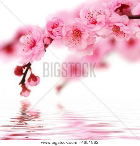 Spring Cherry Flowers