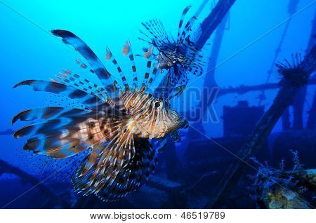 Lionfishes of shipwreck Zabargad Island, Red Sea