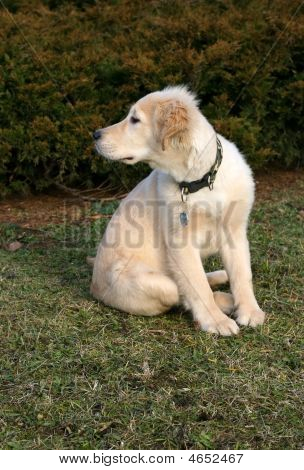 Golden Retriever Puppy Watching
