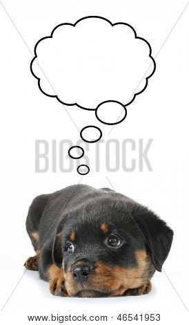 Little Rottweiler puppy dog lies down and thinking about something