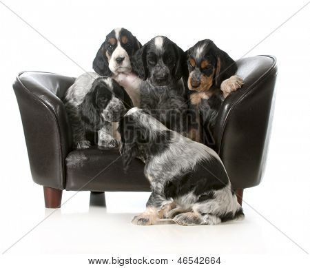 litter of puppies sitting on a couch - english cocker spaniel puppies - 7 weeks old