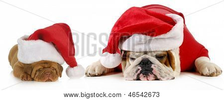dog santa - two dogs wearing santa hats - english bulldog and dogue de bordeaux puppy