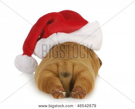 santa puppy - dogue de bordeaux puppy wearing santa hat - 4 weeks old