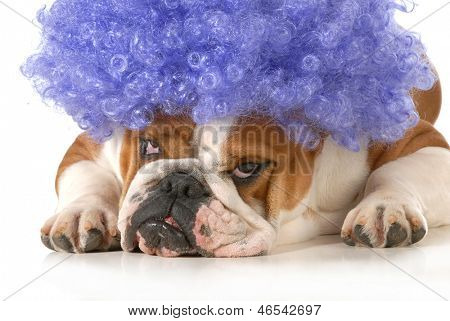 dog clown - english bulldog dressed up like a clown with silly expression isolated on white background