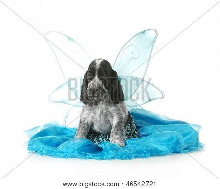angel puppy - english cocker spaniel puppy wearing an angel costume isolated on white background - 7 weeks old