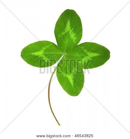 Four-leaf green clover leaf isolated on white background.