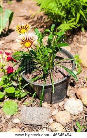 Garden gazania
