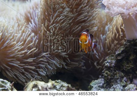 Beautiful Little Clownfish and Sea Anemone.