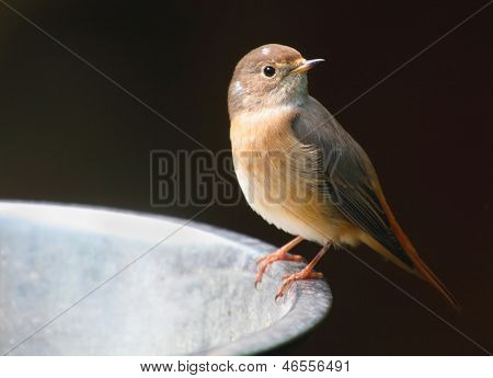 The Common Redstart (Phoenicurus phoenicurus) on a bird table. Closeup with shallow DOF.