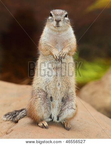 Funny animal portrait of The Prairie Dog (genus Cynomys). It is burrowing rodent native to the grasslands of North America.
