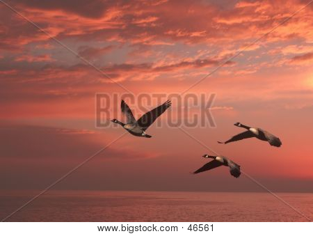 Geese In Sunset Over The Pacific