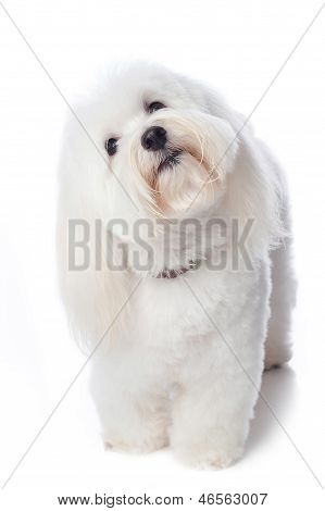 Inquisitive White Dog