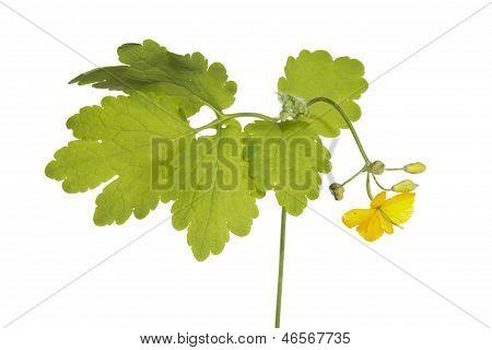 Cheledonium Or Tetterwort