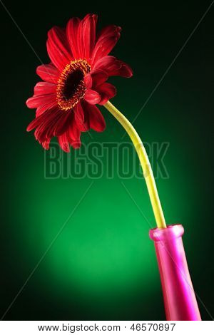 closeup of a red gerbera flower in a vase over a dark green background