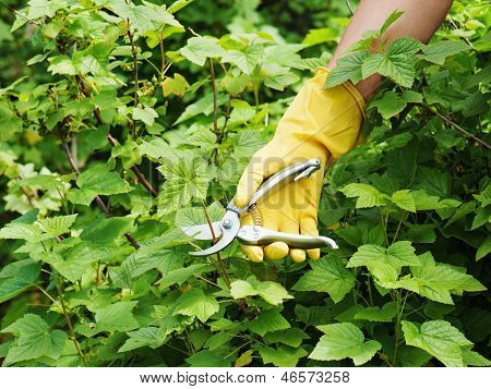 Hand With Green Pruner In The Garden.