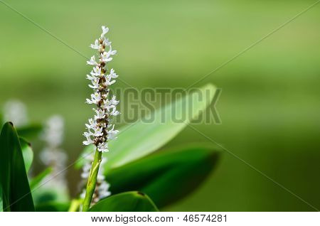 White Pickerelweed (Pontederia cordata)