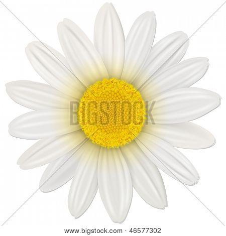Margarita, flor aislado, ilustración vectorial.
