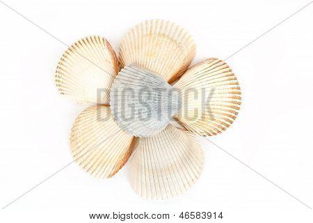 Beautiful Sea Shells Close Up White