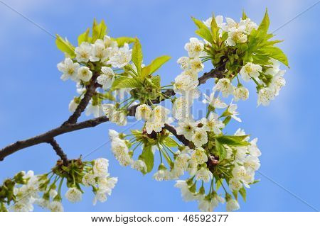 Close Up Of Blooming Wild Cherry