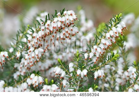 Close Up Of Erica Carnea.white Winter/spring Heath