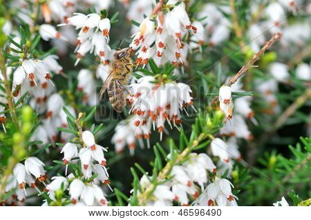 Close Up Of Bee On Erica Carnea.white Winter