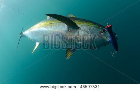 Yellowfin Tuna Fish Caught In Ocean With Blue Lure In Its Mouth