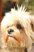 image of small-hawk  - this is close up of small dog with faux hawk - JPG
