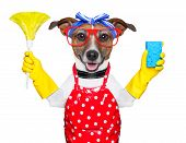 foto of working animal  - housewife dog with rubber gloves and a feather duster - JPG