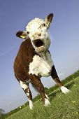 picture of hereford  - A female pedigree Hereford Cow grazing in buttercup field angled view with mouth open - JPG