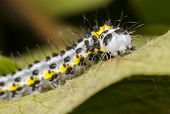 foto of grub  - Yellow worm or grub or maggot with black dots known as Toadflax  - JPG