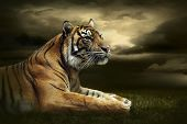 stock photo of hunter  - Tiger looking and sitting under dramatic sky with clouds - JPG