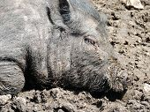 image of pot bellied pig  - Close up of a young Vietnamese pot - JPG